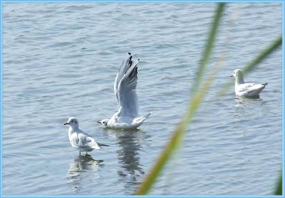 Tre gabbiani su acqua