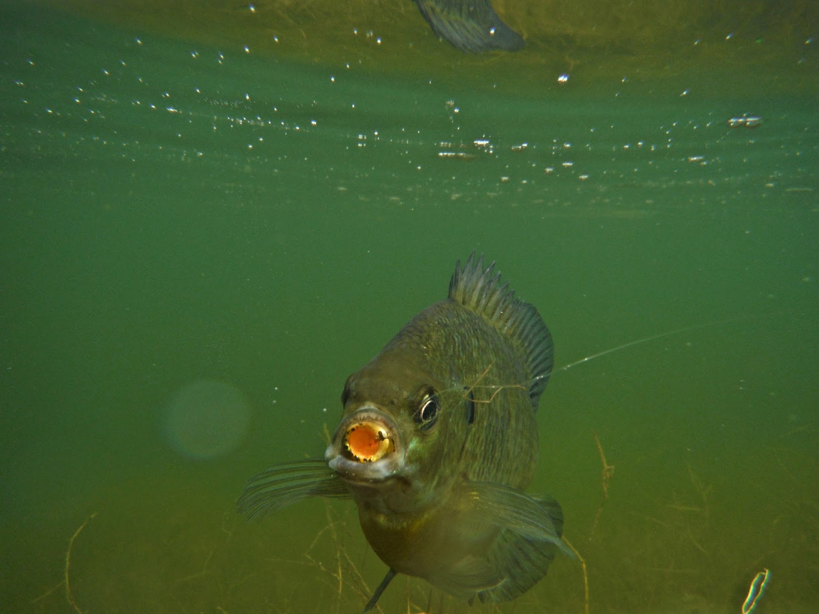 Erik s fly fishing blog happy little bluegill for Fly fishing for bluegill