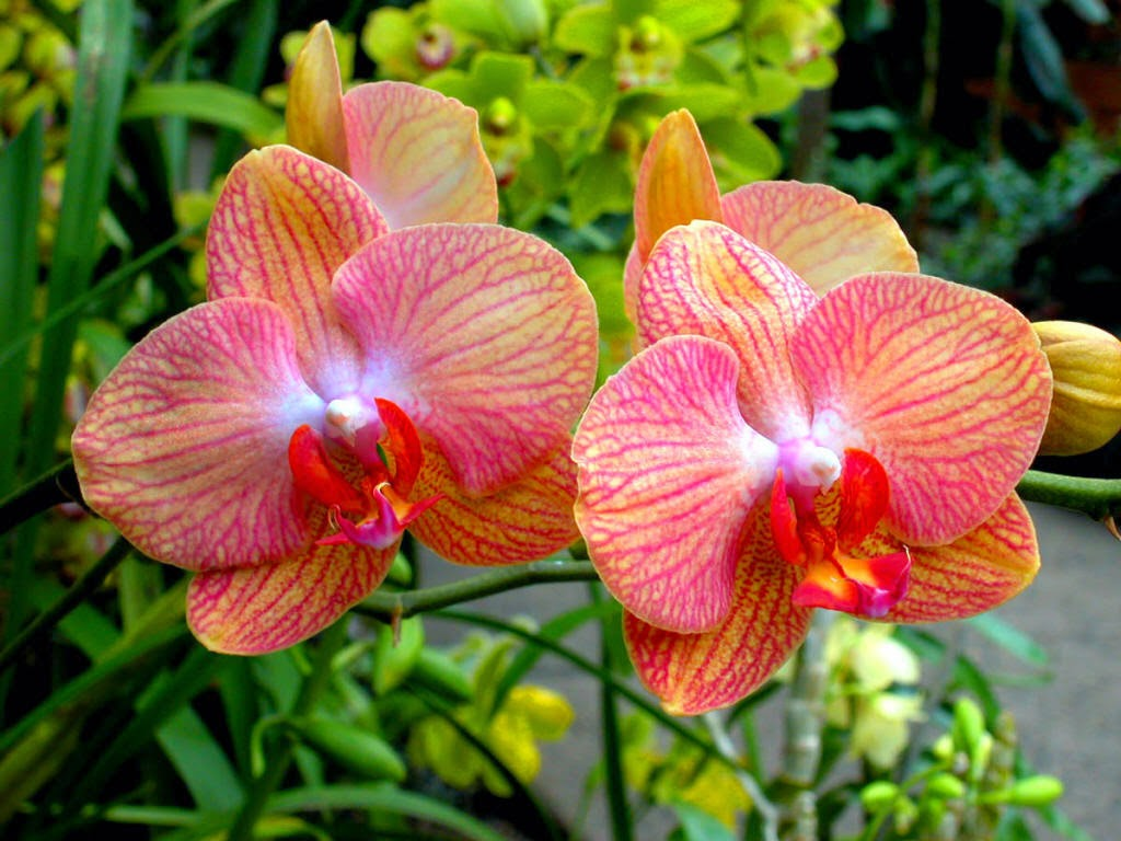 bộ sưu tập hoa phong lan