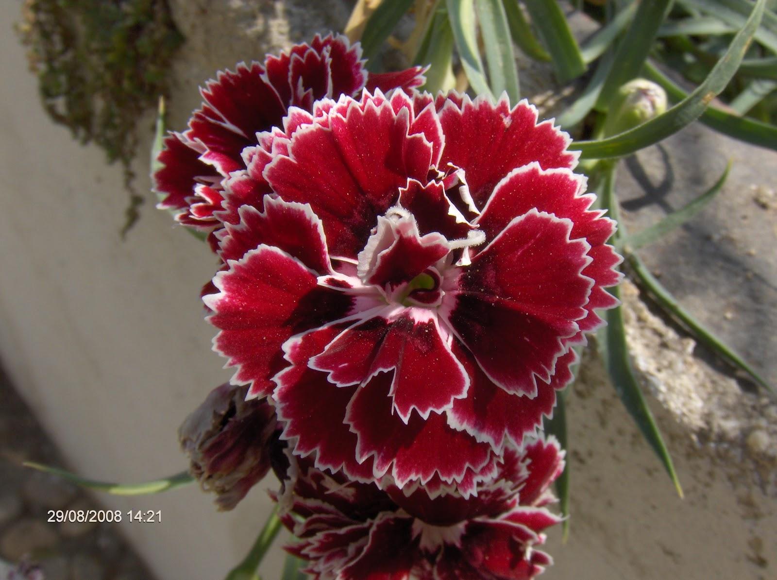 flores jardim ano todo : flores jardim ano todo:Flor de Lis: As Melhores Flores para seu Jardim