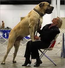 World's-Biggest-Dog-Pics-8
