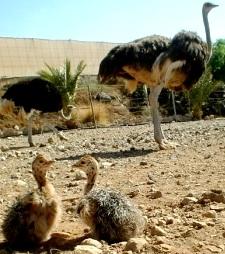 Avestruz hembra con sus crias