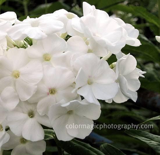 /White Phlox paniculata-closeup