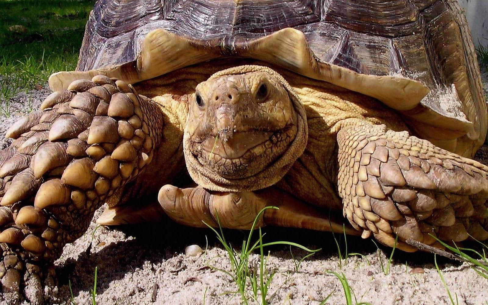 http://3.bp.blogspot.com/-_nNtPydA81c/TyAajNRGFxI/AAAAAAAAXvc/REYfwoooFTQ/s1600/Schildpadden-achtergronden-dieren-hd-schildpad-wallpapers-foto-2.jpg