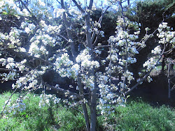 Spring / pear tree