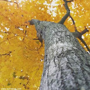 Árbol amarillo en el otoño coreano