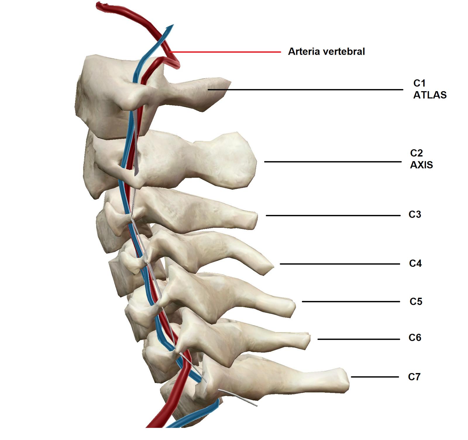 Bolyat los músculos pectorales de la espalda