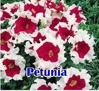 Benih Bunga Petunia