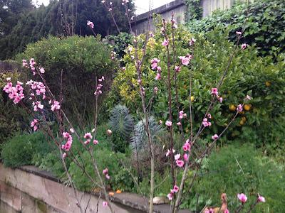 Nectarine Blossoms, Oakland, CA