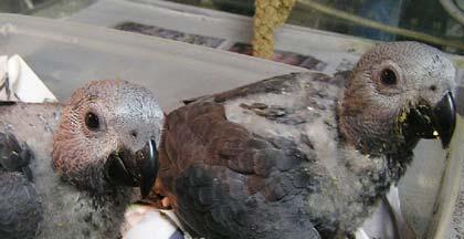 birds for sale in the uk baby african grey parrots for. Black Bedroom Furniture Sets. Home Design Ideas