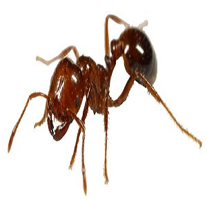 How to get rid of fire ants naturally