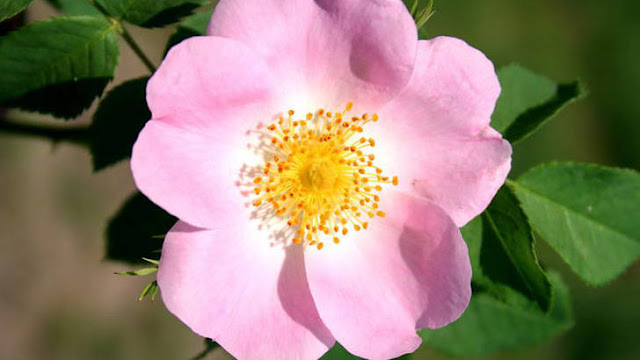 The many virtues of wild rose