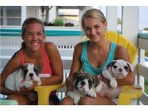 Cachorros Inglês Bulldog para adopção - para oferecer