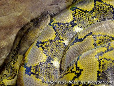 Reticulated Python (Broghammerus reticulatus)