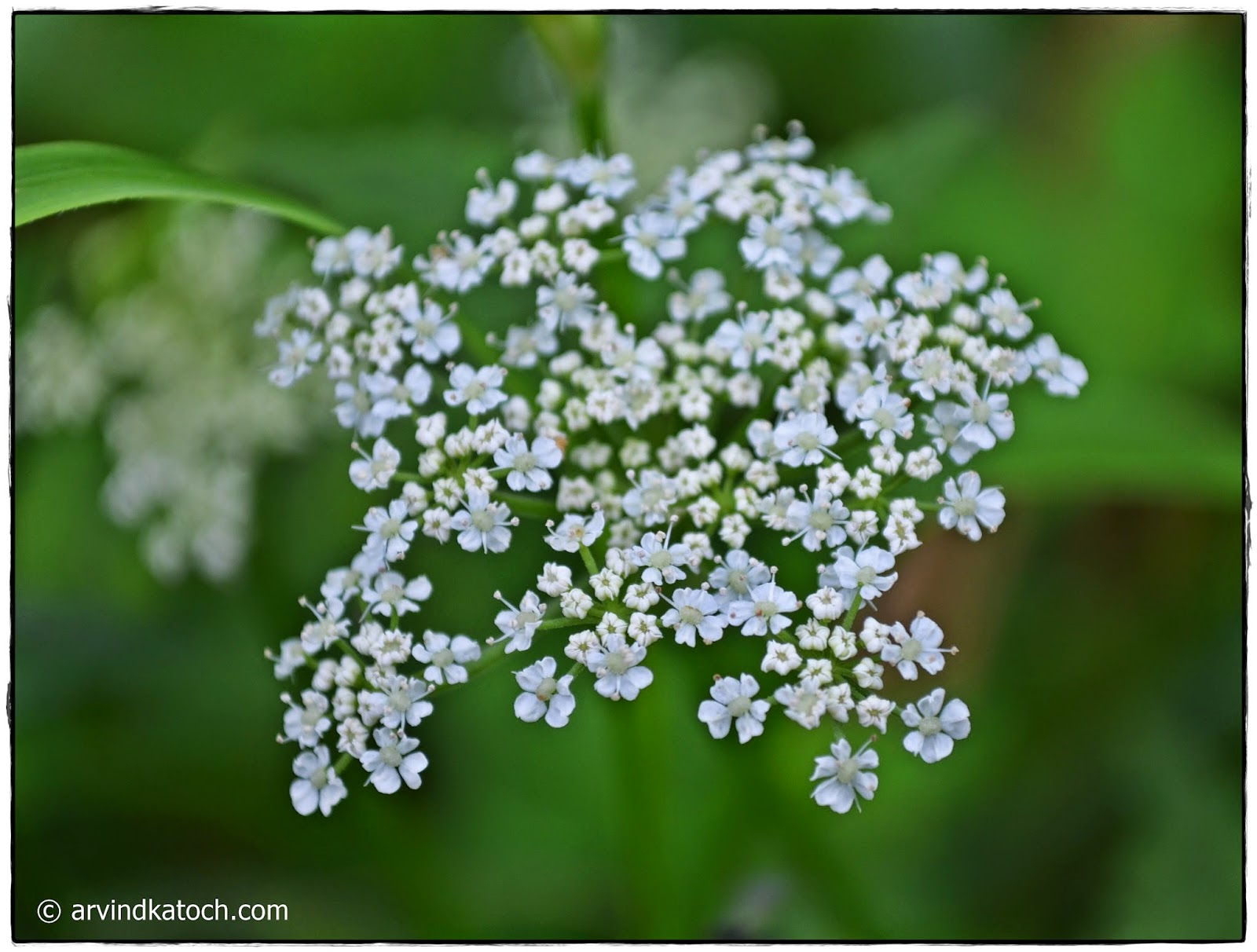 Tiny White Flowers, Beautiful,