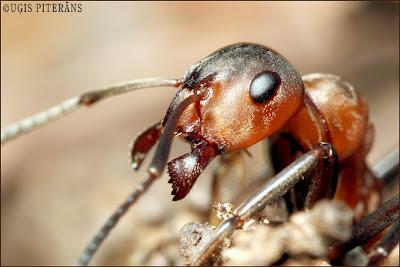 Rūsganā meža skudra (Formica rufa)