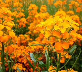 Erysimum allioni, Cheiranthus allioni, Siberian Wallflower, orange color