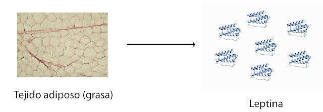 El tejido adiposo es el principal productor de leptina