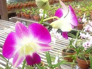 Sien Orchid Garden Pasuruan