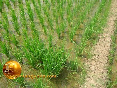 Tanda untuk batas pembagian tanaman padi yang melakukan nyeblok