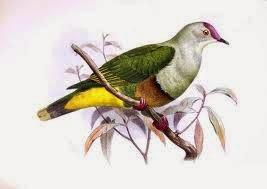 Tilopo de Tonga,  Ptilinopus porphyraceus