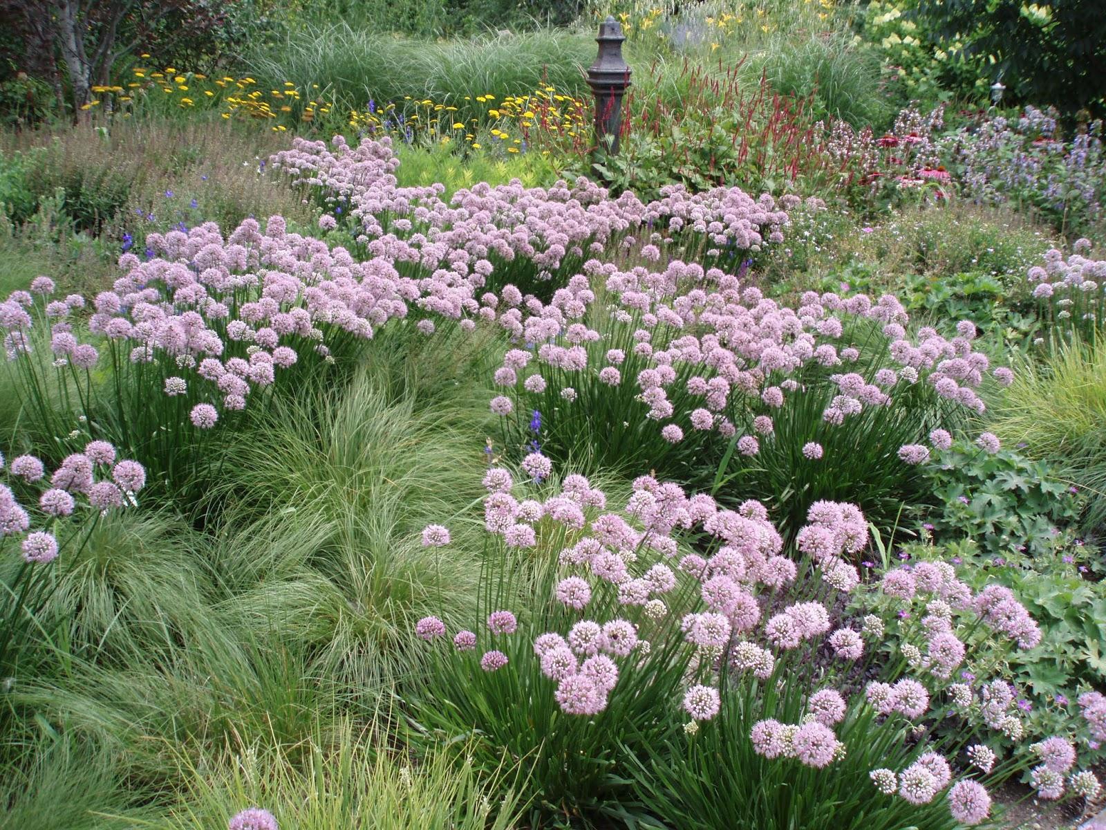 Merveilleux Summer Alliums