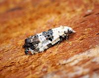 Latest New Micro Moth Species - Phtheochroa sodaliana