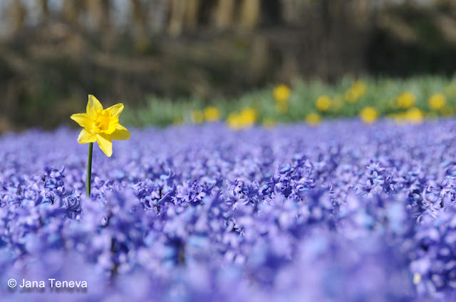 HyacinthFields Holland2013