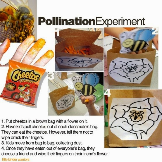 HOW TO-Pollination experiment- cheetos