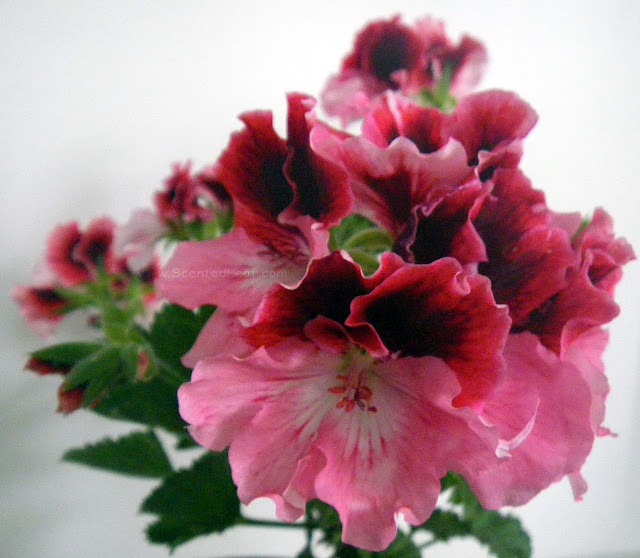 Regal Pelargonium PJ Miranda satiny florets opening into full flowers
