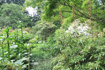 Dunn Gardens - Cardiocrinum giganteum