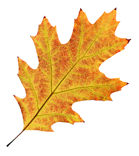 Осенние листья картинки цветные шаблоны для вырезания - e4