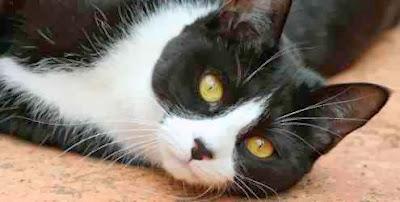 gato-preto-e-branco