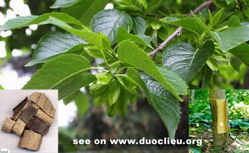 Eucommia ulmoides oliv.