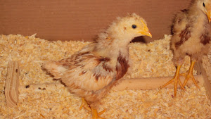 Chicks - 3 weeks