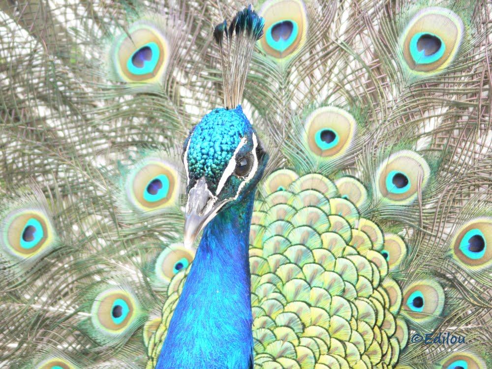 Paon pour Klimt, Peacock for Klimt, ПАВЛИН ДЛЯ КЛИМТА