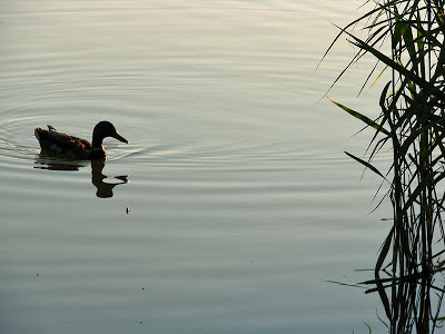 A mallard close to my float on Brierley Park Pond