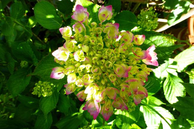 hydrangea, hydrangea blooming