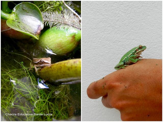 Rana saliendo del agua - Pequeña rana - Chacra Educativa Santa Lucía