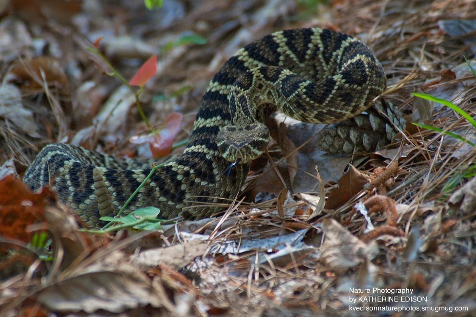Baby diamondback rattlesnake