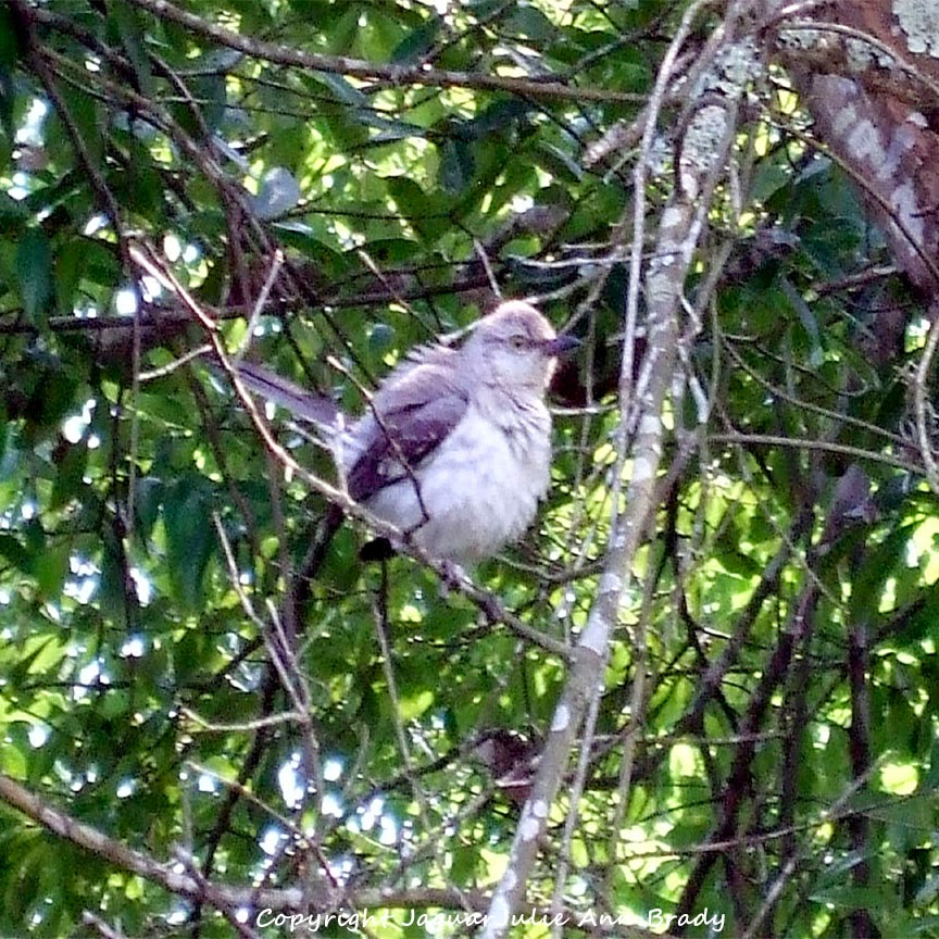 Adult Mockingbird Protective Behavior 1