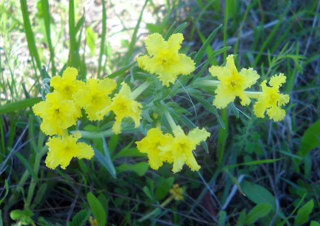 Fringed Puccoon wildflower at White Rock Lake, Dallas, Texas