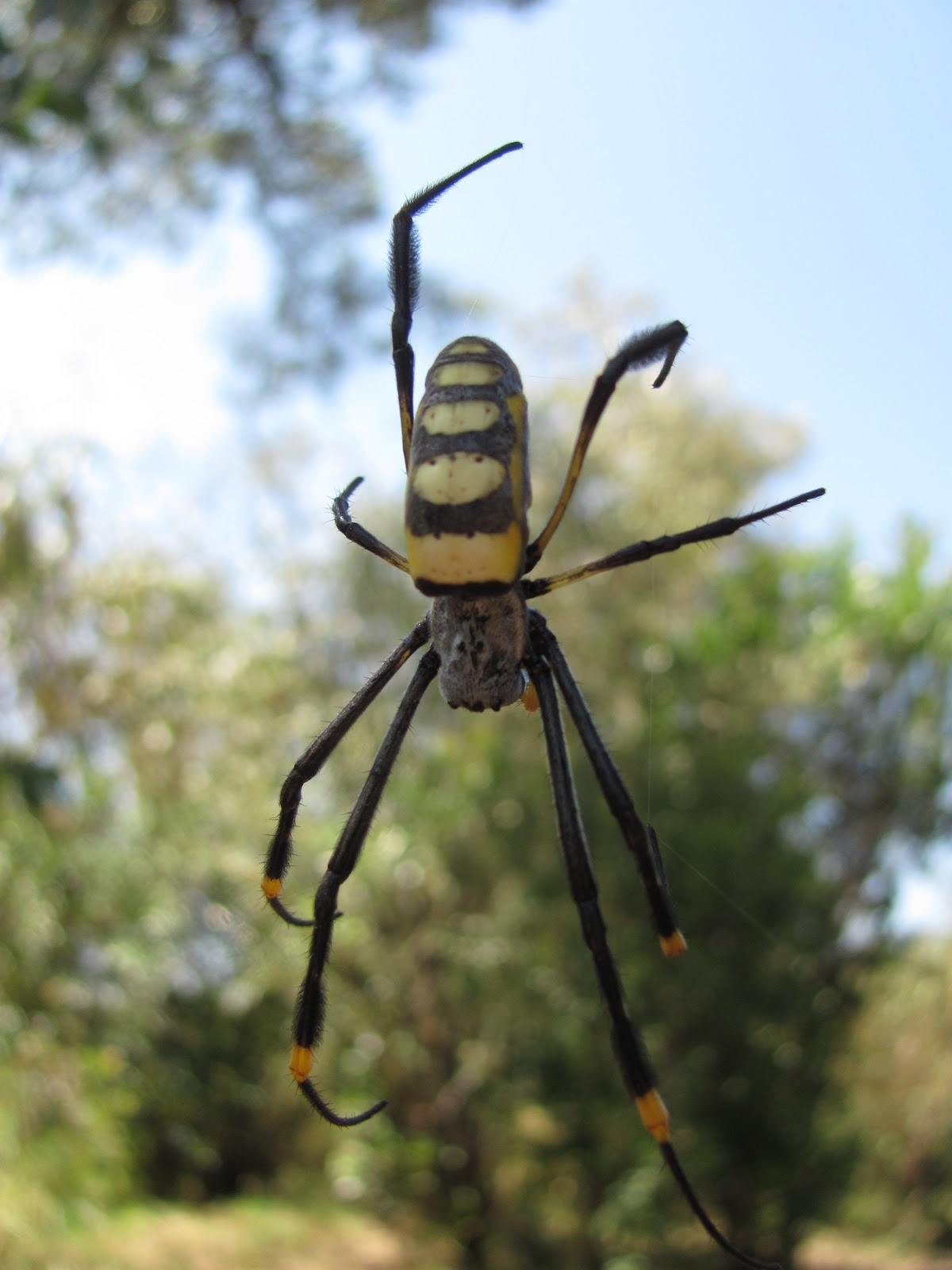 Kenyan Spiders: GOLDEN ORB WEB SPIDERS - Family Nephilidae