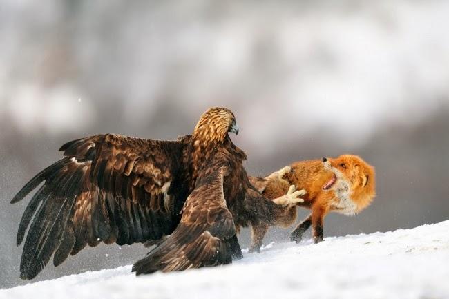 Смертельная битва орла и лисицы. Фотограф: Ив Адамс (Болгария)