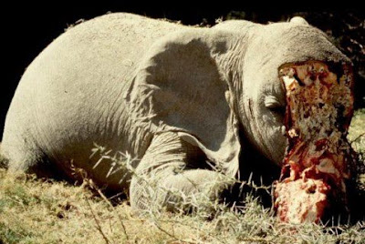 CHINESE DEMAND FOR IVORY DRIVES THE SLAUGHTER OF THOUSANDS OF ELEPHANTS EACH YEAR FOR TUSKS