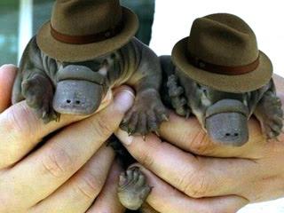 Руки держут двух маленьких утконосов в шляпах.
