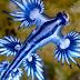 Geger Penemuan Seekor Naga Biru Mematikan