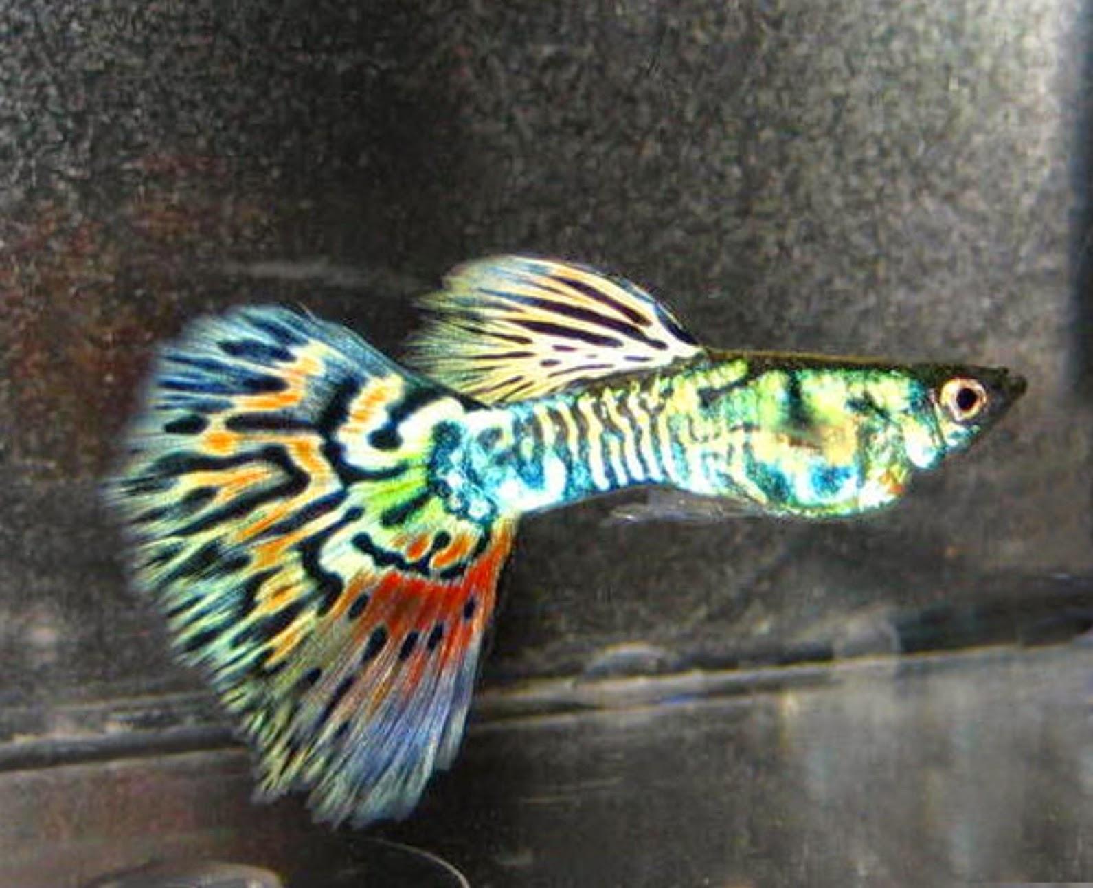 fish keeping tips high breed guppies