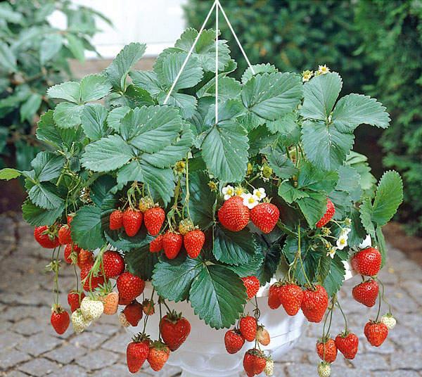 lilys garden blumen erdbeeren und tomaten. Black Bedroom Furniture Sets. Home Design Ideas
