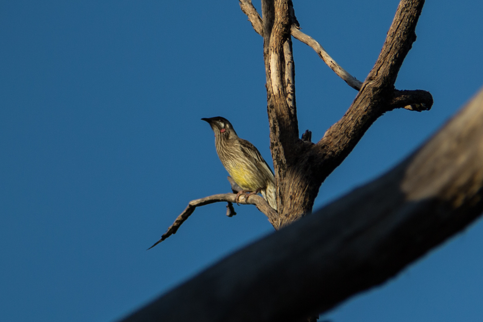 red wattlebird on tree